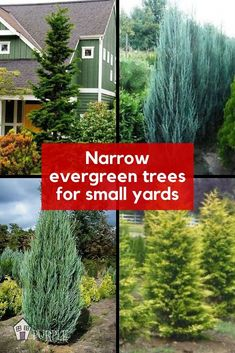 Privacy Fence Landscaping, Front House Landscaping, Small Yard Landscaping, Landscaping Trees, Planting For Privacy, Privacy Plants, Evergreen Landscape, Evergreen Garden, Evergreen Trees For Privacy