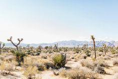 desert landscape of joshua trees