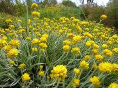 Angus's Top Ten Australian Plants For Very Sandy Soils | Gardening With Angus