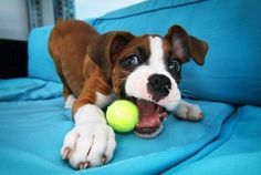Tips For Housebreaking Your Pit Bull Terrier Puppy Dog