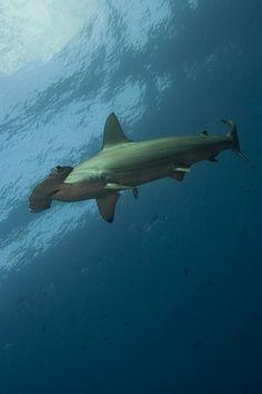 Hammerhead Shark. My favorite animals. #SharkWeek