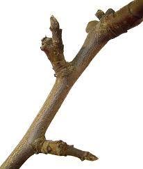 Image result for Rosaceae malus adstringens