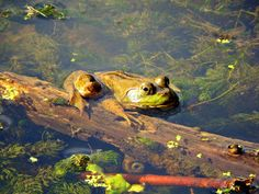 Frog Pond photograph of cute amphibian by JantasticPhotos on Etsy