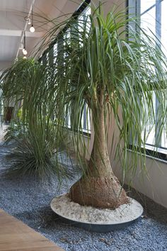 ponytail palm/elephant's foot tree pet safe