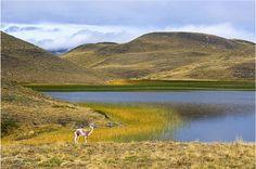 Guanacos at Patagonia pond Photo by Sabry Mason -- National Geographic Your Shot