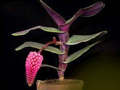 Robiquetia cerina. Sinônimos: *Saccolabium cerinum, Malleola merrillii, Robiquetia merrillii. Origem: Filipinas. Habitat: epífita, ocasionalmente rupícola, em florestas quentes e úmidas.