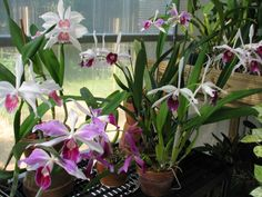 Cattleya purpurata orchids
