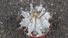 cacti 7J60 Astrophytum capricorne major XL size, flowerpot is 8,5 cm | eBay