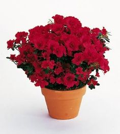 Common names: azalea    Description: These low, woody shrubs have leathery, dark green leaves and 3- to 6-inch clusters of red, orange, coral, pink, white or purple flowers. They make excellent blooming plants.    Special care: Check daily. Keep the soil moist but not wet. Apply water directly to the root medium. Keep the foliage and flowers dry to prevent fungal diseases. Do not use fertilizer. Place azaleas in bright, indirect light. Blooming life is two to four weeks or more, depending on…