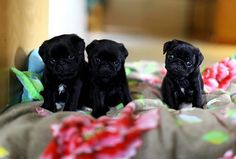 Cute Black Pug Puppies More