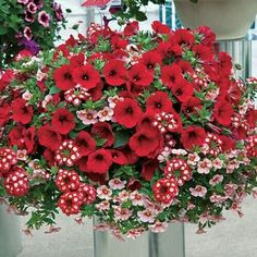 hanging baskets Create a delightful hanging basket with this lovely combination of six annual flowers. This six-plant collection includes two each of Empress Strawberry Verbena, Neon P Hanging Flower Baskets, Flower Planters, Hanging Plants, Potted Plants, Fall Planters, Shade Plants, Outdoor Plants, Container Flowers, Container Plants