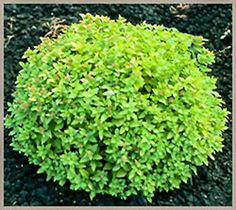 Dakota Goldcharm Spirea is a gold leafed shrub that makes a good accent in the landscape.