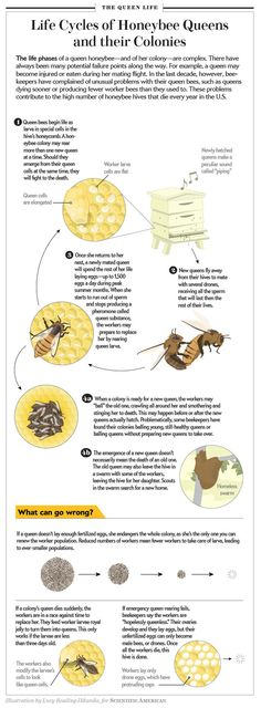 Life Cycle of Honeybee Queens and their Colonies [Illustration by Lucy Reading-Ikkanda, for Scientific American]