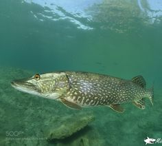 Pike... by caroetmichel #nature #photooftheday #amazing #picoftheday #sea #underwater