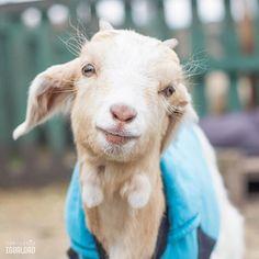Toda la oscuridad del mundo no pudo opacar el corazón de este pequeñito que brilla con sentimientos hermosos y cosas buenas. Le llamamos Ángel y aunque nació para ser asesinado y convertido en un trozo de carne conoció gente tan bonita como él que salvó su vida y lo trajo al Santuario Igualdad para que lo protegiéramos  - - #animal #animallovers #animals #friendsnotfood #farm #farmlife #farmanimals #crueltyfree #pet #pets # #goat #kid #goats #goatsofinstagram #chile  #santiaguista…