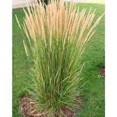 Avalanche Feather Reed Grass - Lovely Tall, Variegated Ornamental Grass Perfect for Borders and AccentsOnline Orchards 1 Gal. Avalanche Feather Reed Grass - Lovely Tall, Variegated Ornamental Grass Perfect for Borders and Accents Ornamental Grasses For Shade, Ornamental Grass Landscape, Perennial Grasses, Tall Grasses, Landscape Grasses, Perrenial Flowers, Evergreen Landscape, Perennial Plant, Shade Perennials