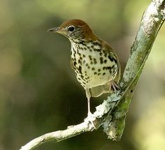 Wood Thrush Bird Symbolism: I have a question about potential Wood Thrush bird symbolism.  The other day I was stopped at a light near my house. A wood thrush swooped down and landed