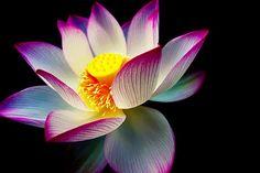 ɛïɜ Lotus ɛïɜ