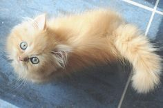 little long-haired beauty - pale orange kitten
