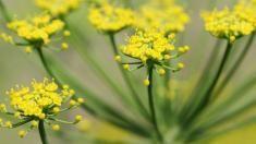 Heilpflanzen für Magen/Darm - NetDoktor.de