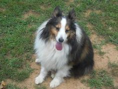 RUFFY - sweet is an adoptable Shetland Sheepdog Sheltie Dog in Lancaster, PA. RUFFY is a sweet and calm adorable, sable and white male sheltie. He is neutered, utd on shots, micro chipped, 4dx tested...