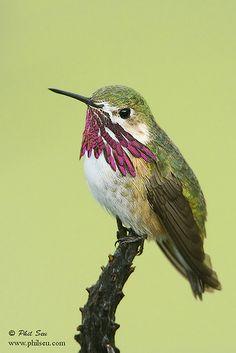 Male Calliope Hummingbird perched image.