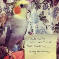 11 Bird Shaming Pics That Prove Feathered Pets Have Their Own Agenda Cute Animal Memes, Funny Animal Pictures, Funny Animals, Cute Animals, Bird Pictures, Bird Mom, Crazy Bird, All Birds, Little Birds