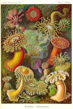 "Vintage Ernst Haeckel Sea Anemone Art Print - Victorian Era Science Illustration In Lush Colors On Archival Quality Paper (Ernst Haeckel, Kunstformen der Natur ""ontogeny recapitulates phylogeny"") Ernst Haeckel, Antique Illustration, Botanical Illustration, Illustration Art, Nature Illustrations, Nature Prints, Art Prints, Art Nature, Natural Form Art"