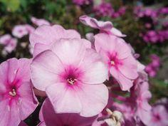 Flox Trata-se de uma planta que tem cerca de 30 centímetros de altura e apresenta uma ramagem densa, macia e folhas verdes.