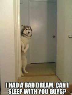 Dogs are the best kind of people! Check out these 24 funny dog memes that will ALWAYS make us laugh, no matter what. Cute Funny Animals, Funny Animal Pictures, Funny Cute, Dog Pictures, Funny Dogs, Funny Husky, Hilarious Pictures, Husky Dog, Husky Humor