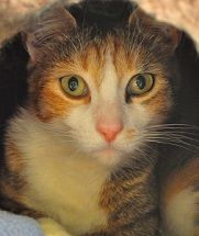 I'm Hanalei, a beautiful tabby/calico mix available for adoption at Simply Cats in Boise, ID. Repin this and help me find a forever home!