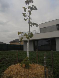Empress tree before the winter. NOV-17 #PAULOWNIA3H2O