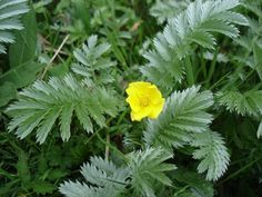 Medicinal Plants, Good To Know, Perennials, Health And Beauty, Weed, Natural Remedies, Food And Drink, Herbs, Nature