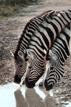 Zebra [Photographer: Dietmar Temps]