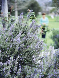 Rosemary Deer tend to avoid it and that's not all. Use rosemary to fill your garden with the scent of the Mediterranean. This evergreen shrub offers leathery leaves that deer don't touch. Harvest the leaves and add them as you cook to imbue your food with fresh, herbal flavor. Plant Name: Rosmarinus officinalis Growing Conditions: Full sun and well-drained soil Size: To 5 feet tall and wide Zones: 8-10