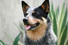 my daughter adopted a blue heeler from a shelter this year and she is amazing with my grandbaby