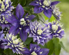 Spring Hill Nurseries in Pot Purple Flowering Taiga Clematis Vine at Lowe's. Introduced at the 2017 Chelsea flower show, taiga Clematis is an unusual variety with purple and white flowers and petals. A vigorous climber, Purple And White Flowers, White Flower Farm, Chelsea Flower Show, Clematis Florida, Spring Hill Nursery, Clematis Vine, Blue Clematis, Climbing Clematis, Clematis Flower