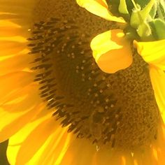 The beauty of a sunflower! #art #natureart #followme #estateinmontagna #photography #flower #fiore #artistic #artist #italy #italianartist #sunflower #casentino #casentinointuscany #meetme #flowers #adventure #artisanadventure #prospettiva #amantearte #arte #fotografia #arezzo #igers #igersarezzo #igersfirenze #firenze #arezzo #tuscany #toscana #toskana