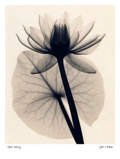 Image result for x ray photography lotus