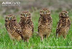 Little owl videos, photos and facts - Athene noctua | ARKive
