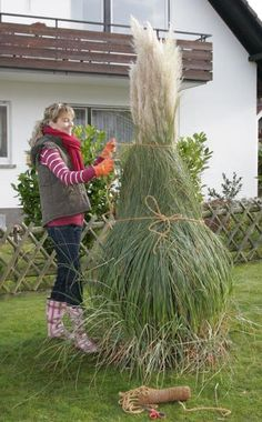 Vintage Das Pampasgras Cortaderia selloana ist ein imposantes Solit rgras das in jedem Garten alle