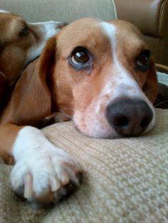 Beagle Eyes Shining that Lovelight!