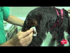 Cómo desinfectar heridas a tu perro - Mascotas Nestlé TV - YouTube