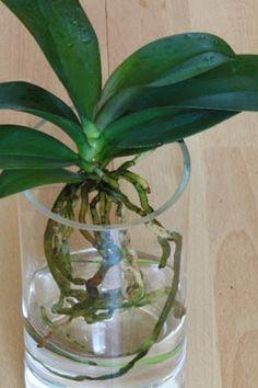 orchideen erfolgreich umtopfen zimmerpflanzen pinterest orchideen pflanzen und garten. Black Bedroom Furniture Sets. Home Design Ideas