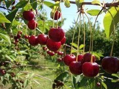 Se você ama cerejas, não pode perder essas dicas! #plantar #horta #cerejas…