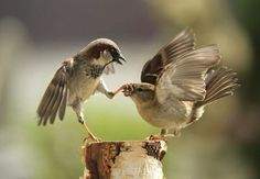 Be quiet, woman! #spatz #sperling #sparrow #bird #vogel #fun