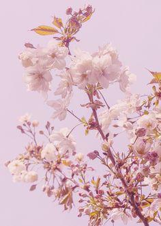 cseresznyevirag Plants, Blog, Flora, Blogging, Plant, Planting