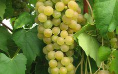 aromella new hybrid grape variety by cornell uni