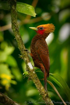 Chesnut Colored Woodpecker   by Jeff Costa Rica Photography