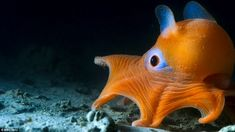 This flapjack octopus lives in the deep waters off California. It is a type of dumbo octopus, so-named for the fins it uses to move through the water. Blue Planet 2, Planet Earth Ii, Flapjack Octopus, Octopus Facts, Octopus Squid, Dumbo Octopus, Deep Sea Creatures, Under The Ocean, Pisces